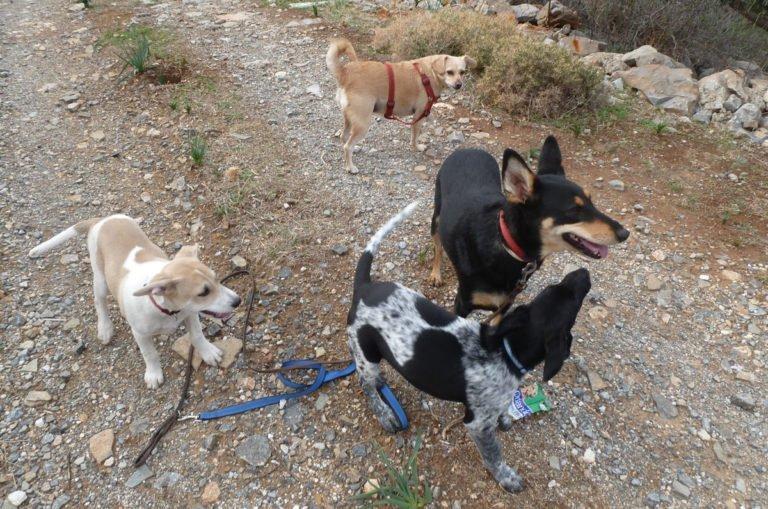 Cretan dogs