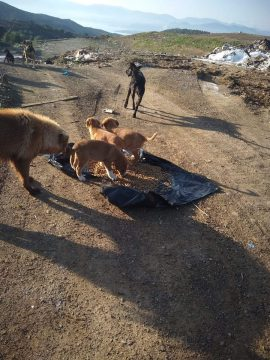 The garbage dogs
