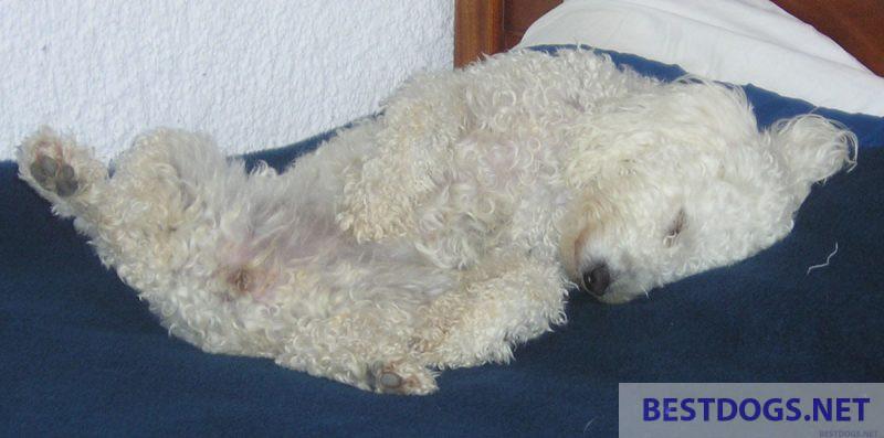 dog that sleeps on its back