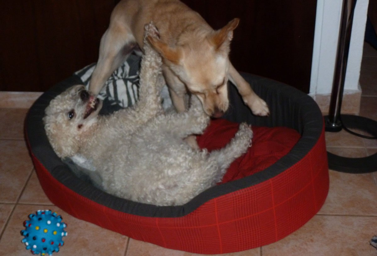 Elder dogs