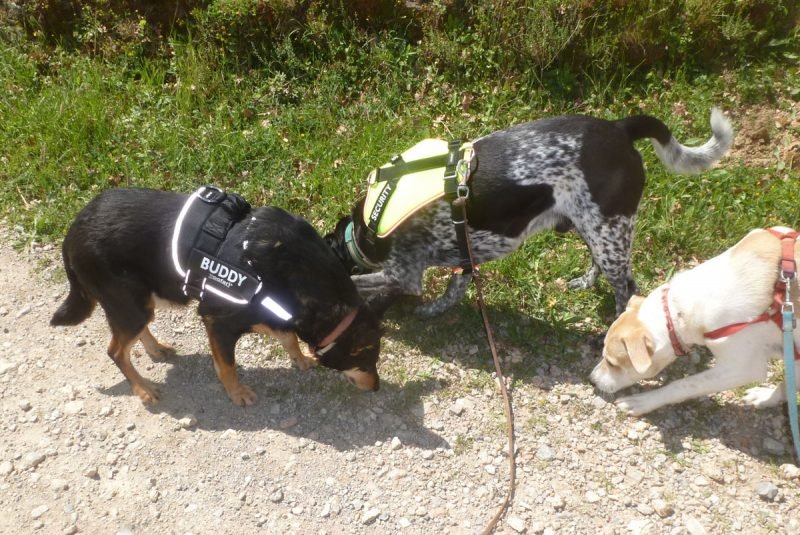 Dogs sniffing a trail.