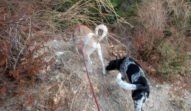 smelling hunting dogs