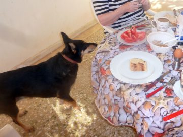 Adult dog at the table