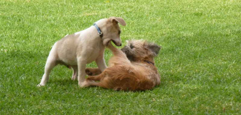 Puppies in a scuffle.