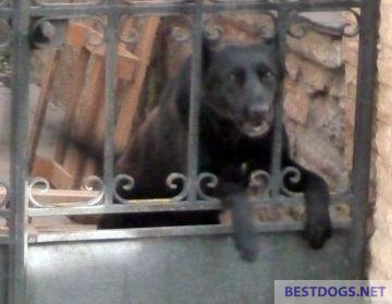 dog shows potentially aggressive behavior